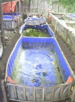 Budidaya Ikan Gurame Di Kolam Terpal : budidaya, gurame, kolam, terpal, Gurame, Purwakarta:, Budidaya, Menggunakan, Terpal