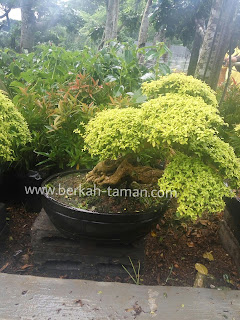 jual bonsai legistrum