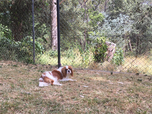 Ava lying on grass outside, tethered to pole