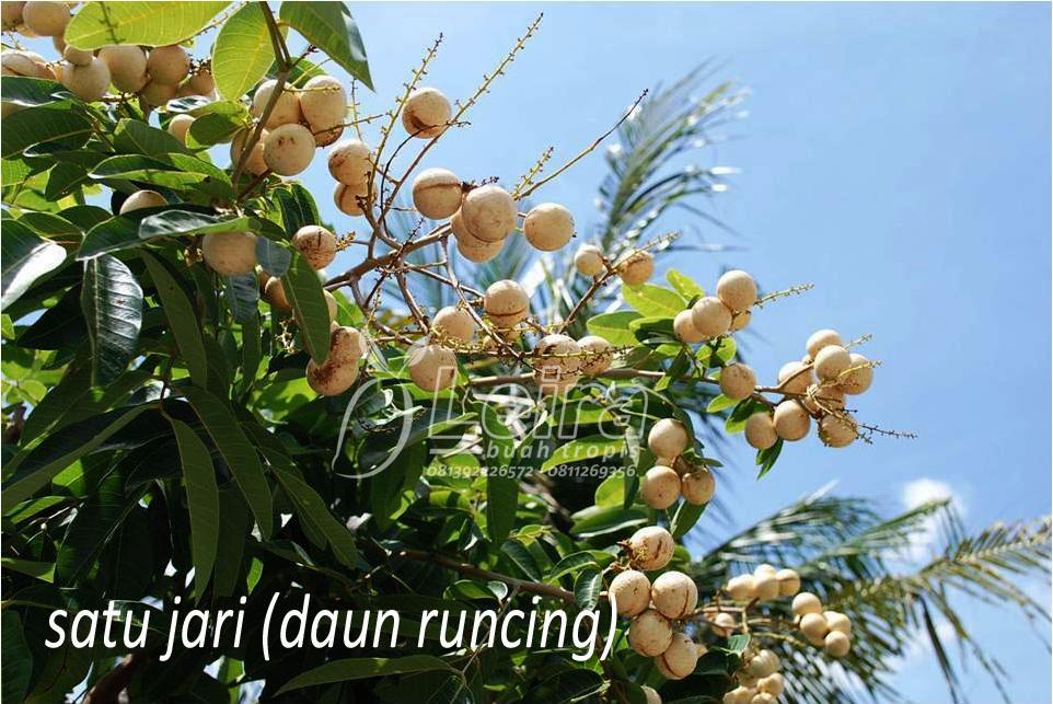 Ragam Buah Klengkeng (Dimocarpus longan) ~ Leira Buah Tropis