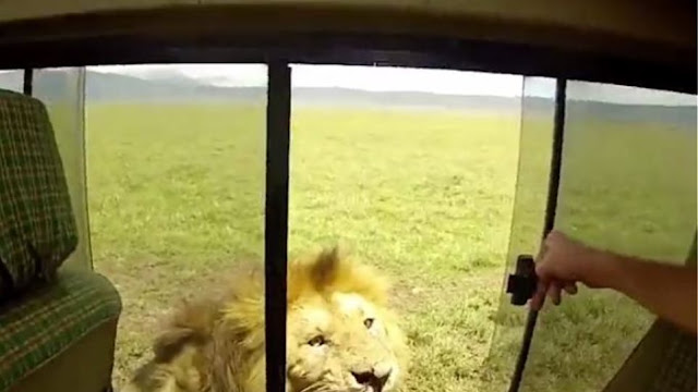 Ο πιο ηλίθιος τουρίστας του κόσμου: Απλώνει το χέρι να χαϊδέψει... λιοντάρι!