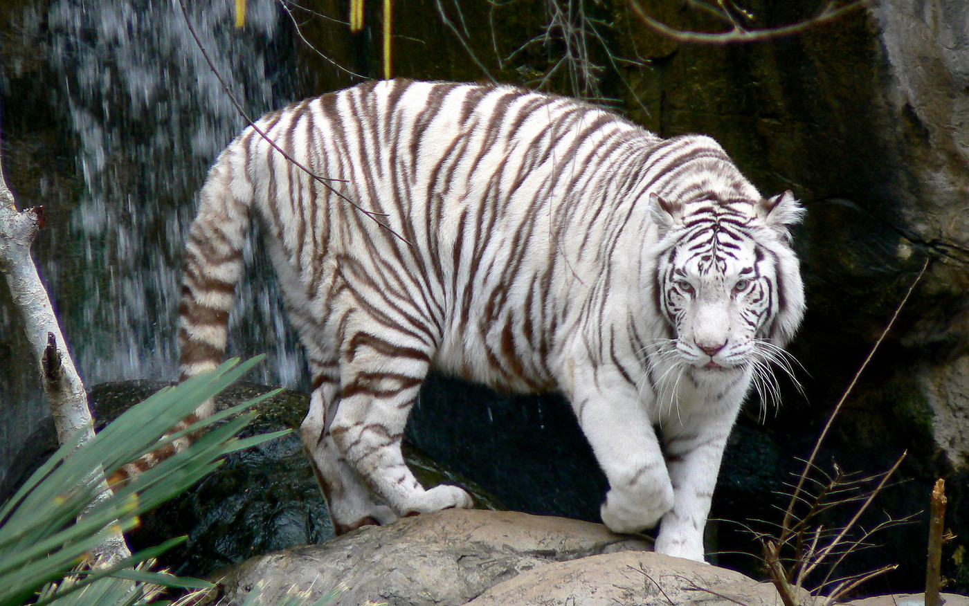 wallpaper hd white tiger - photo #26