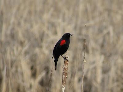 northern california birding birdwatching birder bird sightings