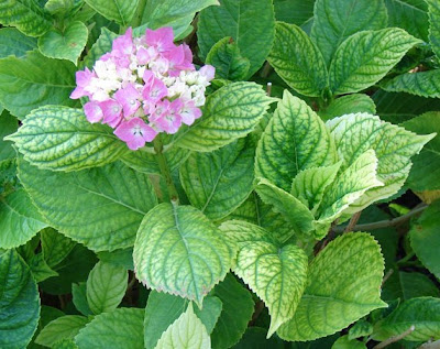 Hydrangea plant expressing yellowing of the leaves due to poor uptake of iron