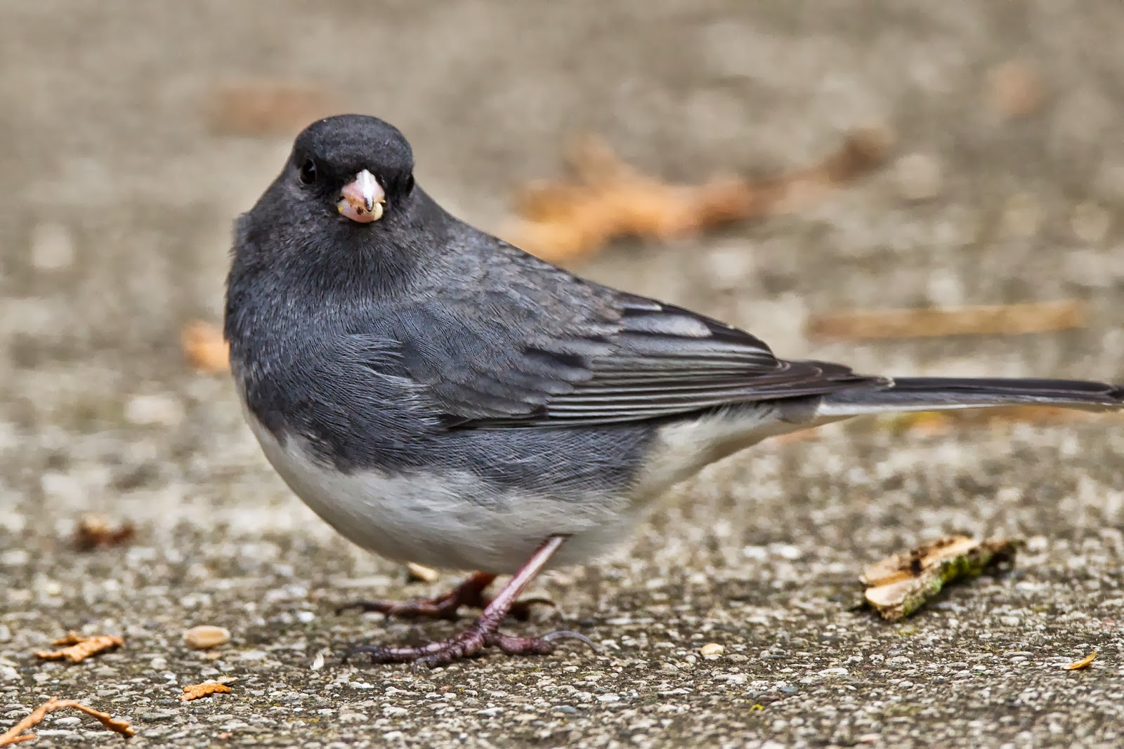 Feather Tailed Stories: Dark-eyed Junco