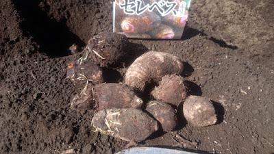 セレベスの種サトイモは芽の近くから根が出てきています