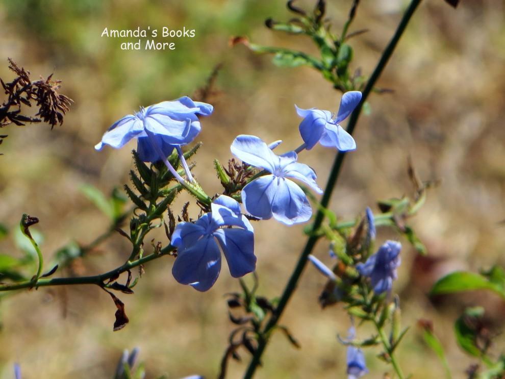 Plumbago Flowers Photo