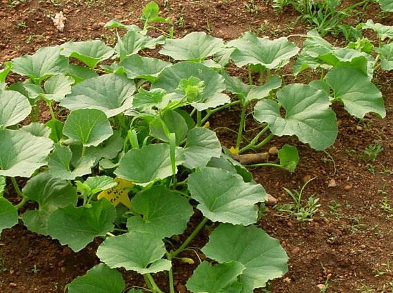 tierra cultivo melon