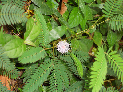 Touch Me Not Plant (Thottaavaadi) a medicinal plant