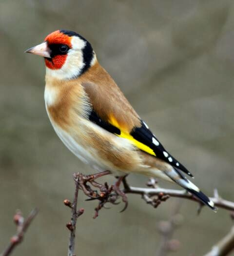 Suara burung european goldfinch