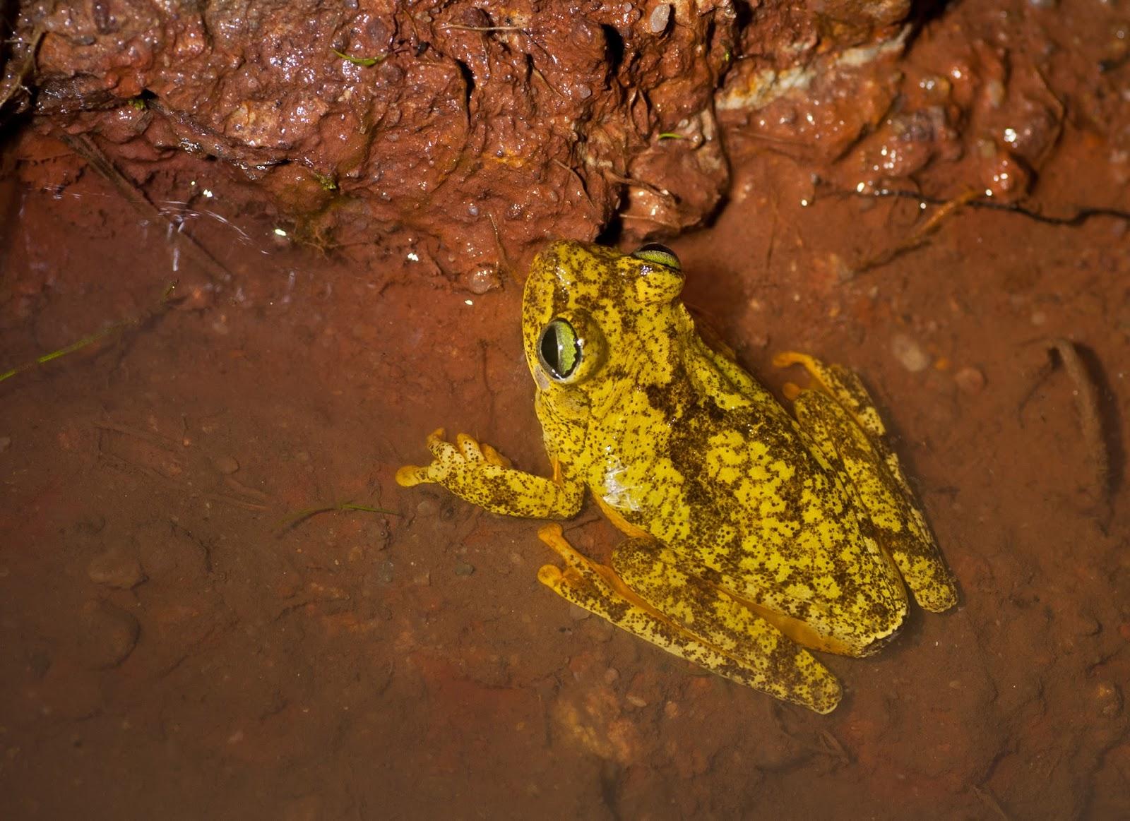 Amphibians: Rana platanera - Hypsiboas crepitans