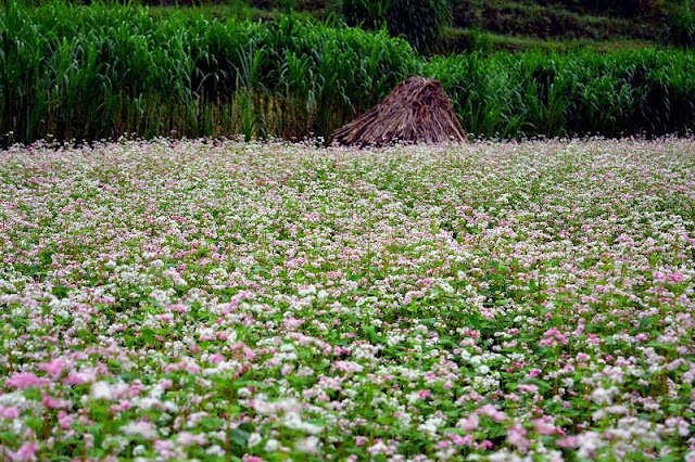The Ideal Place To See The Buckwheat Flower in Ha Giang 2
