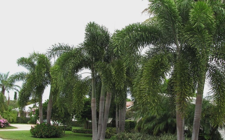 Home And Garden Foxtail Palm