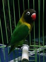 menstabilkan birahi lovebird