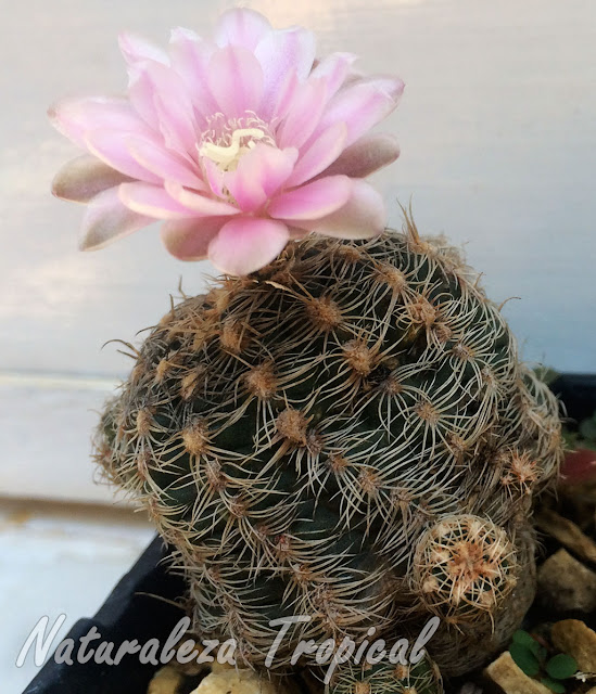 Otra foto del cactus Gymnocalycium bruchii