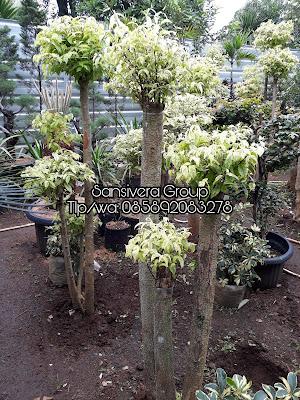 Pohon Bonsai Anting Putri