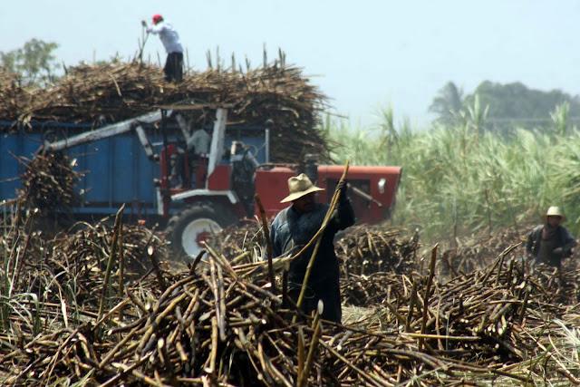 ÁgoraHuatusco : Veracruz, líder en producción de caña de azúcar