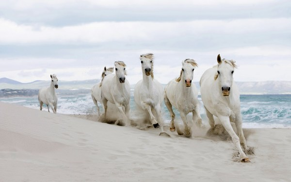 White Horses Pictures Running Swiftly on Sand