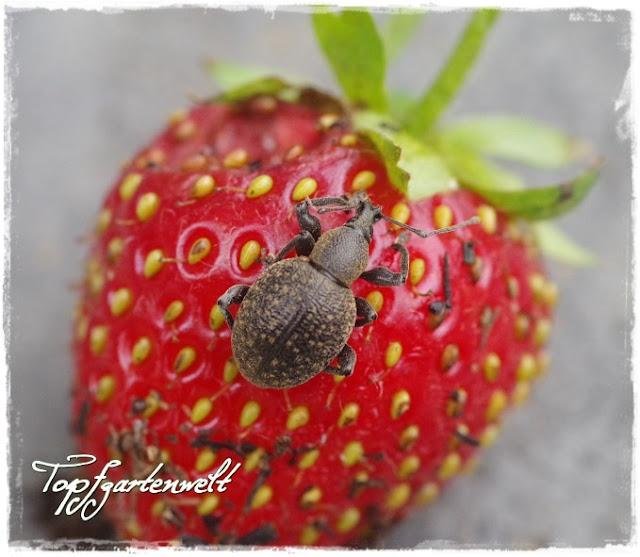 Gartenblog Topfgartenwelt Schädlinge: gefurchter Dickmaulrüssler liebt Erdbeeren
