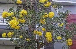 Yellow Tabebuya Flower
