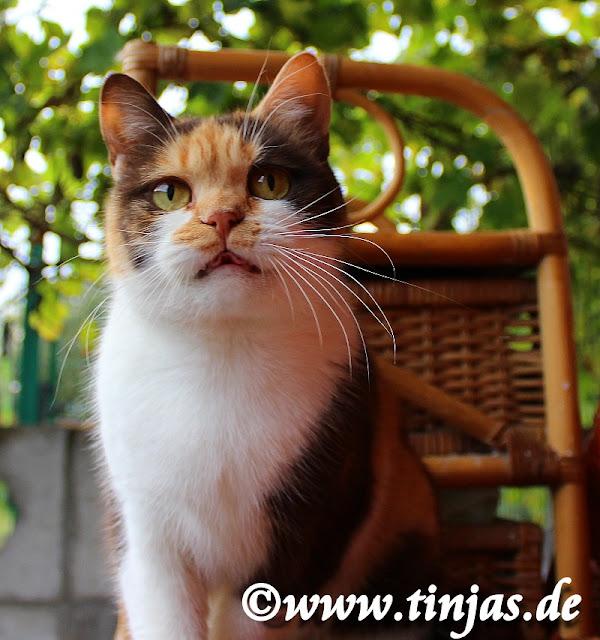 Britisch Kurzhaar Katze in chocolate tortie-white aus der Tinjas Katzenzucht