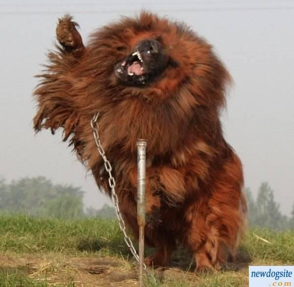 Welcome to the World of Prince Wale Yusuf: World's Most Expensive Dog - $1.6 Million For Tibetan Mastiff