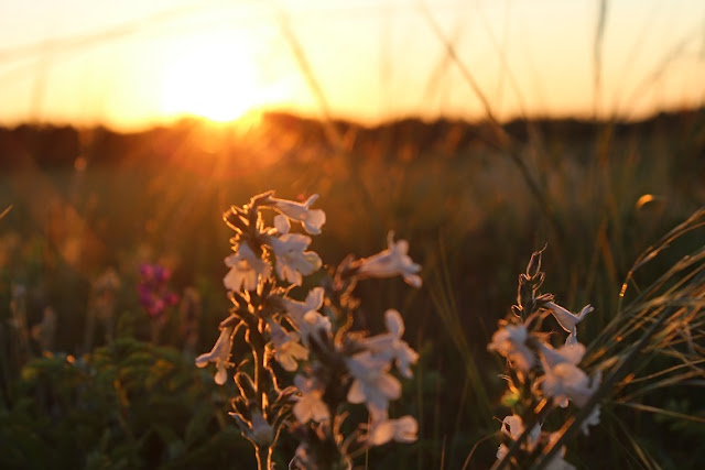 wild flower in sunset