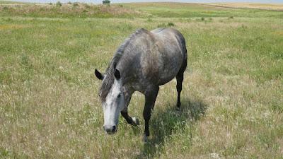 animals, horses, Liebenthal, Saskatchewan, brand, pasture