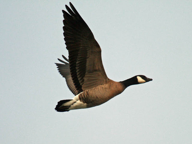 Figure 14: Cackling Goose flight pose 1. Wings fully raised.