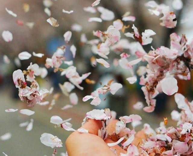Image result for bunga sakura rontok