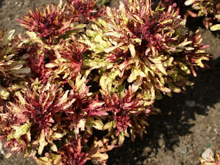 Solenostemon scutellarioides 'Mint Mocha' - Plectranthus scutellarioides 'Mint Mocha'