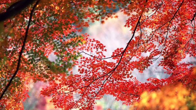 Achtergrond met rode esdoorn bladeren