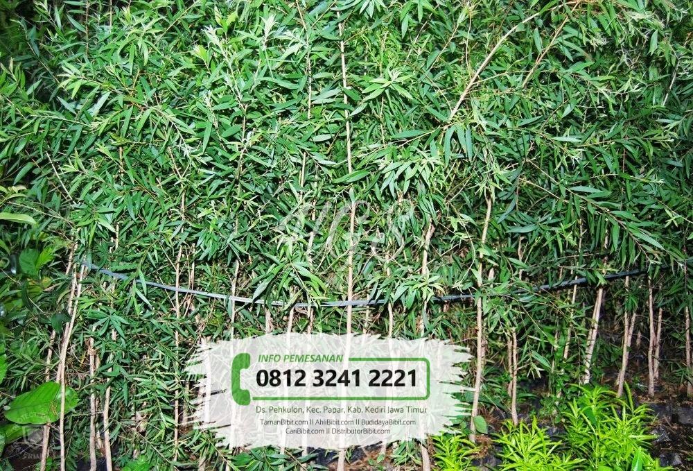 Jual Bibit & Benih Biji Pohon Kayu Putih