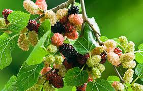 mulberries(shehtoot) health benefits in urdu