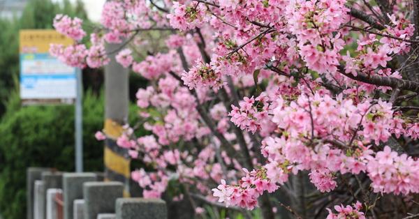 台中豐原|公老坪|粉紅富士櫻|豐原陽明山也有很多櫻花可以賞