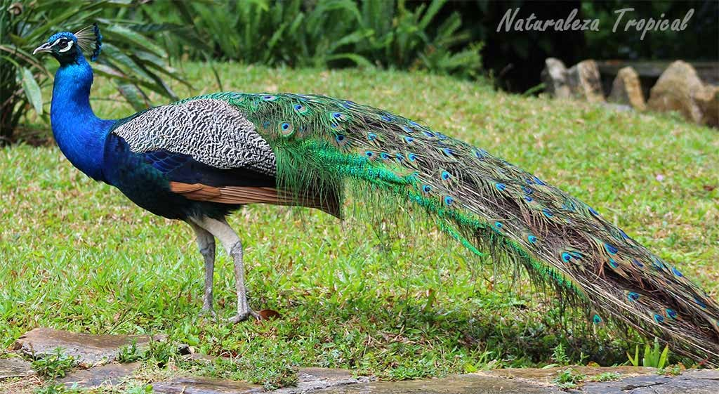 Naturaleza tropical el pavo real pavo cristatus - Fotos de un pavo real ...