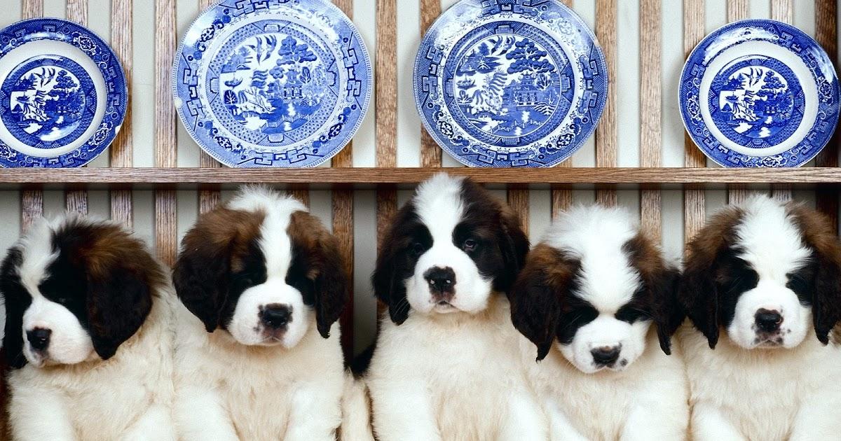 Saint Bernard Dog HD Wallpapers, Saint Bernard Dogs Full