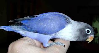 Kisaran Harga Terbaru Lovebird Biru Mangsi Saat Ini Di Tahun 2018