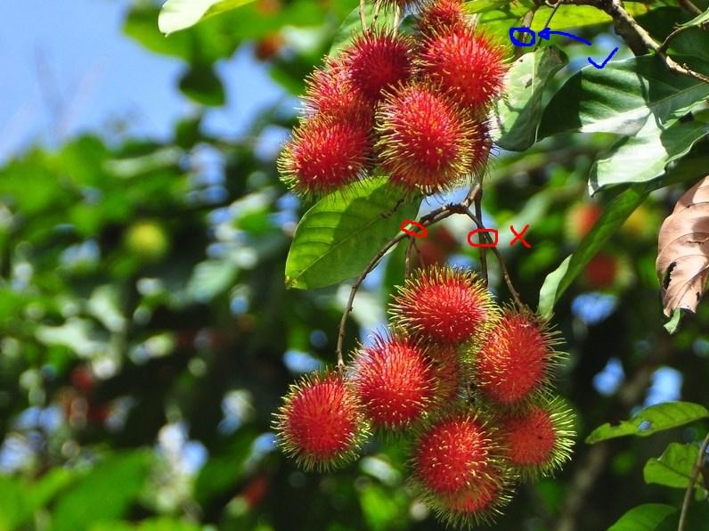 Tips Memanen Buah Rambutan Agar Tetap Berbuah Lebat dan Cepat panen rambutan segar dan cepat berbuah
