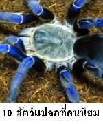 10 อันดับสัตว์แปลกที่คนไทยนิยมเลี้ยงมากที่สุด แมงมุม