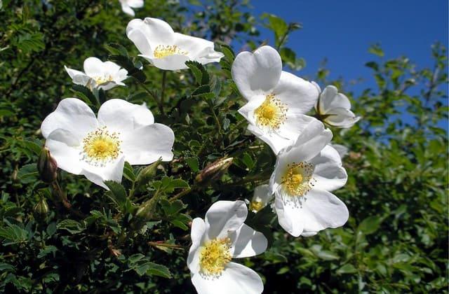 Mawar wild rose sebagai salah satu bahan parfum