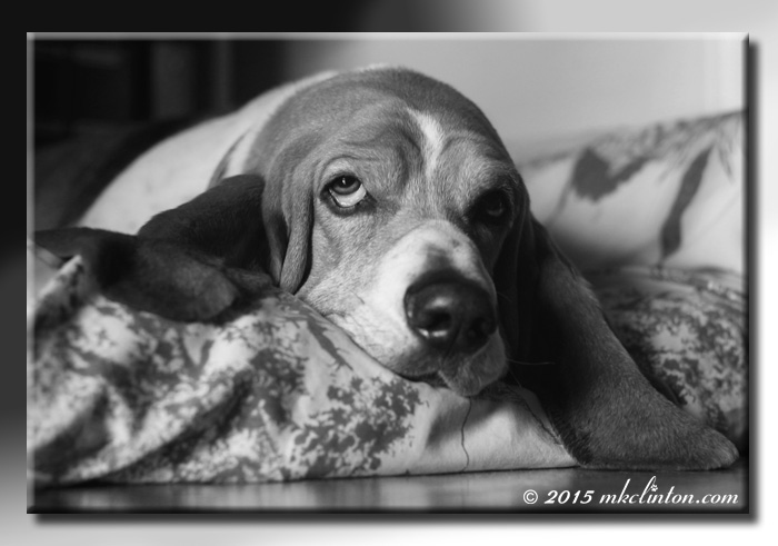 B & W photo of a tired Bentley Basset