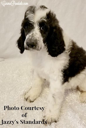 Black and White 7 week old standard poodle puppy