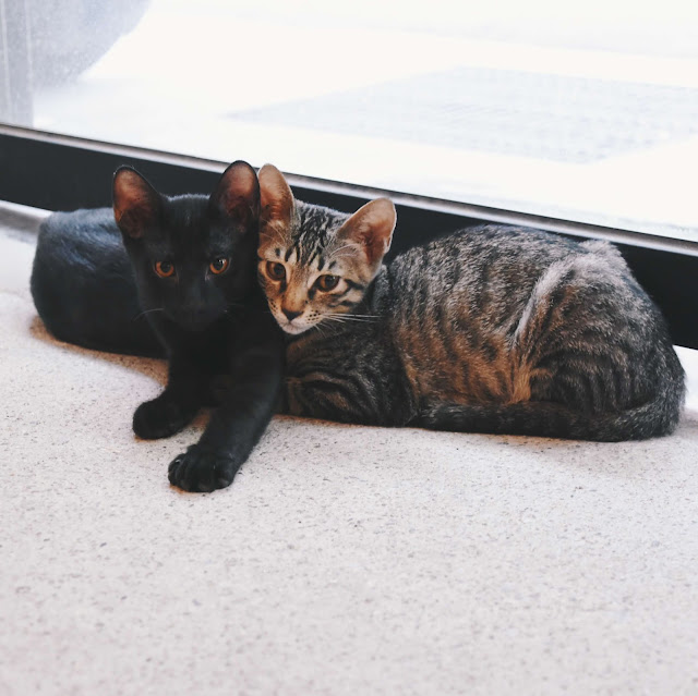 碧耳貓 beercat 兩隻貓
