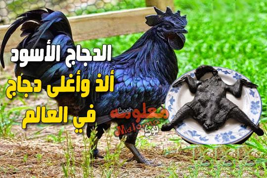 الذ واغلى دجاج في العالم