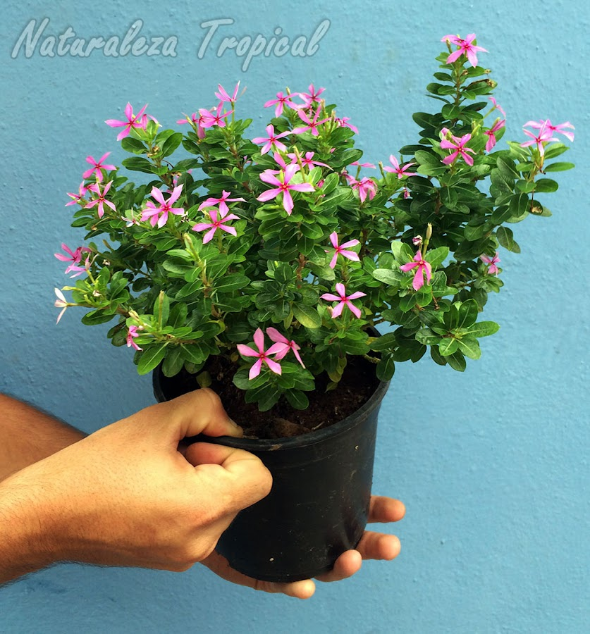 Variedad de Vicaria o Teresita con flores pequeñas pero muy florífera, Catharanthus roseus o Vinca rosea