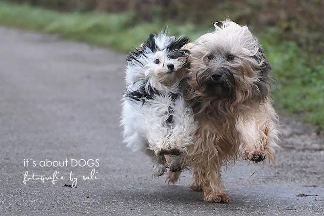 """""""Im Regen tanzen"""" Biewer Yorkshire Terrier Lotta und Tibet Terrier Chiru"""
