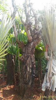Jual pohon balibong atau jaran, tanaman unik