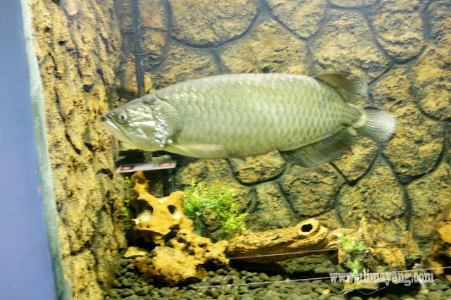 jenis-ikan-air-tawar-yang-umum-di-pelihara-di-aquarium-arwana