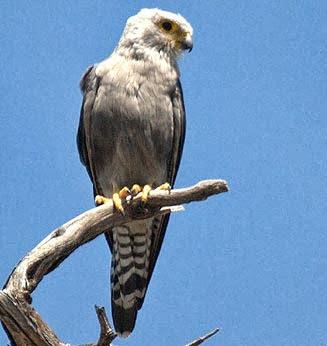 Halcón dorso negro Falco disckinsoni